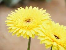 Daisy. Yellow daisy flower Stock Photography