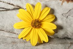 Daisy yellow flower, macro studio shot Royalty Free Stock Photos