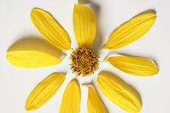 Daisy yellow flower, macro studio shot Royalty Free Stock Photo