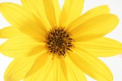 Daisy yellow flower, macro studio shot. Daisy yellow vivid color flower, macro studio shot Stock Image