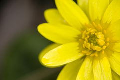 Daisy yellow flowers Royalty Free Stock Images