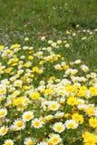 Daisy yellow flowers green nature Stock Photography