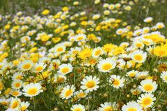 Daisy yellow flowers green nature meadow. Spring season Royalty Free Stock Photography