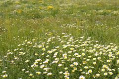 Daisy yellow flowers green nature meadow Stock Images