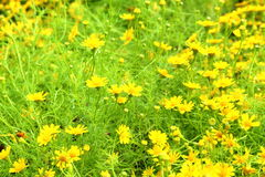 Daisy yellow flowers Royalty Free Stock Photo