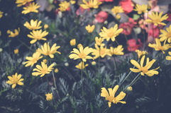 Daisy yellow flowers. Over green leaves Stock Photos