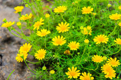 Daisy yellow flowers. To like this sunlight Stock Images