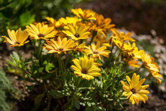 Osteospermum yellow Stock Images