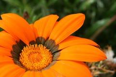 A daisy of yellow petals royalty free stock photos