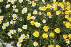 Daisy yellow and white flowers in garden Stock Images