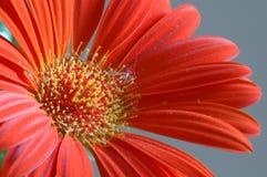 daisy zbliżania gerber odizolowana czerwony zdjęcie stock