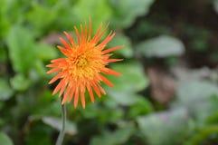 Daisya de Barberton no parque em Sri Lanka Foto de Stock