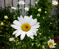 Daisybug stockbilder