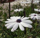 Daisybush arbustif photos libres de droits