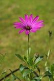 Daisybushes (Osteospermum) Lizenzfreie Stockfotografie
