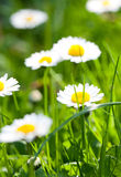 The daisyes in grass. Stock Image