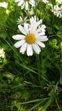 Daisyflower zdjęcia royalty free