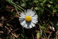 Daisyflower blanco Fotografía de archivo