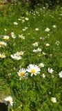 Daisyflowers obraz royalty free