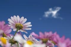 daisys粉红色 库存图片