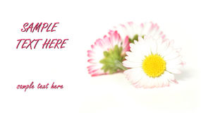 daisys粉红色 免版税图库摄影