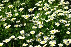 daisys πεδίο Στοκ εικόνα με δικαίωμα ελεύθερης χρήσης