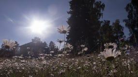 Daisys στον ήλιο Στοκ Εικόνες