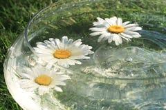 Daisys Royalty Free Stock Image