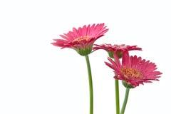 Daisys Royalty-vrije Stock Foto