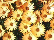 Daisys Stock Images
