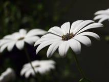 Daisys Stockbild