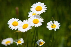 Daisys Royalty Free Stock Images