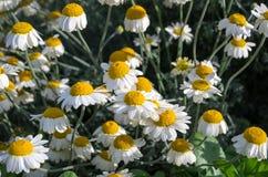 Daisys Photographie stock libre de droits
