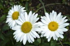 Daisys Zdjęcie Stock
