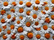 Daisys foto de stock
