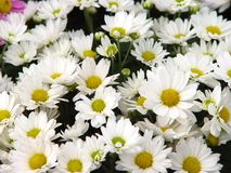 Daisys Stock Image
