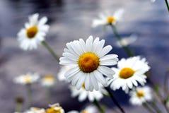Daisys Στοκ Φωτογραφία