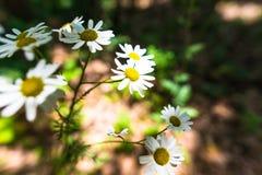 Daisys Photo libre de droits