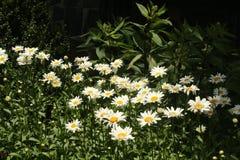 Daisys blanco en la floración Fotos de archivo libres de regalías