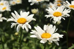 Daisys blanco en la floración Imágenes de archivo libres de regalías
