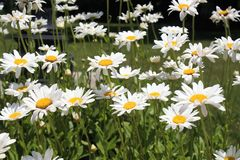 Daisys blanco en la floración Fotos de archivo