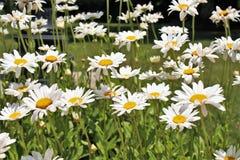 Daisys blanco en la floración Fotografía de archivo libre de regalías
