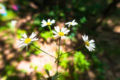 Daisys blancos Fotos de archivo