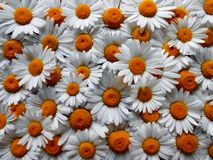 Daisys Stock Photo