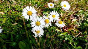 Daisys. Daisy irradiated by the Sun were photographed Stock Photos