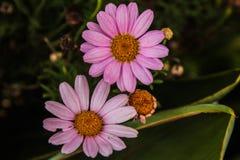 Daisys de Rose Fotografía de archivo libre de regalías