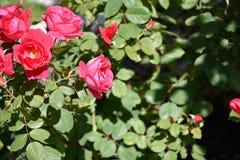 Daisys in de tuin die omhoog de de zomerzon doorweken stock fotografie