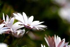 Daisys in der Blume Stockfotografie