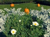 Daisys en pumkins stock afbeeldingen