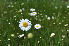 Daisys. Flowers nature.  close fresh grass fragile image background flora.  garden plants green daisys young up white.  day variegated natural wallpaper.  summer Stock Photo